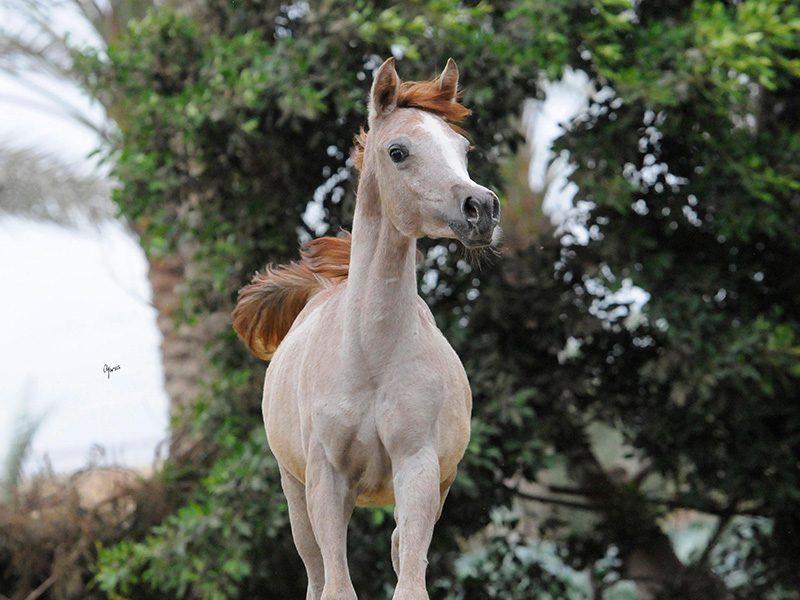 Halimee-Al-Bawady-1