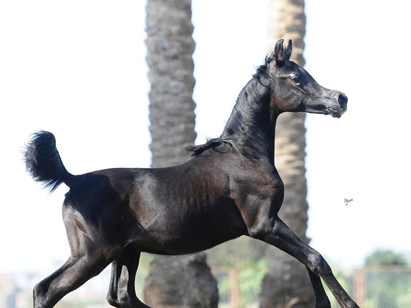 Kafu-Al-Bawady-1