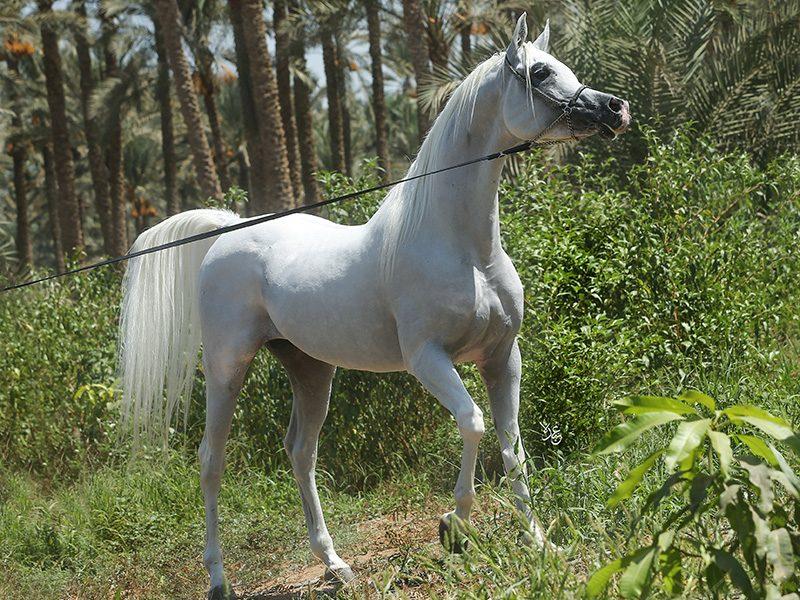 Shaheen El Gabry 1